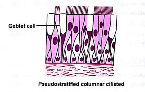 Classification of epithelium pseudostratified - columnar ciliated